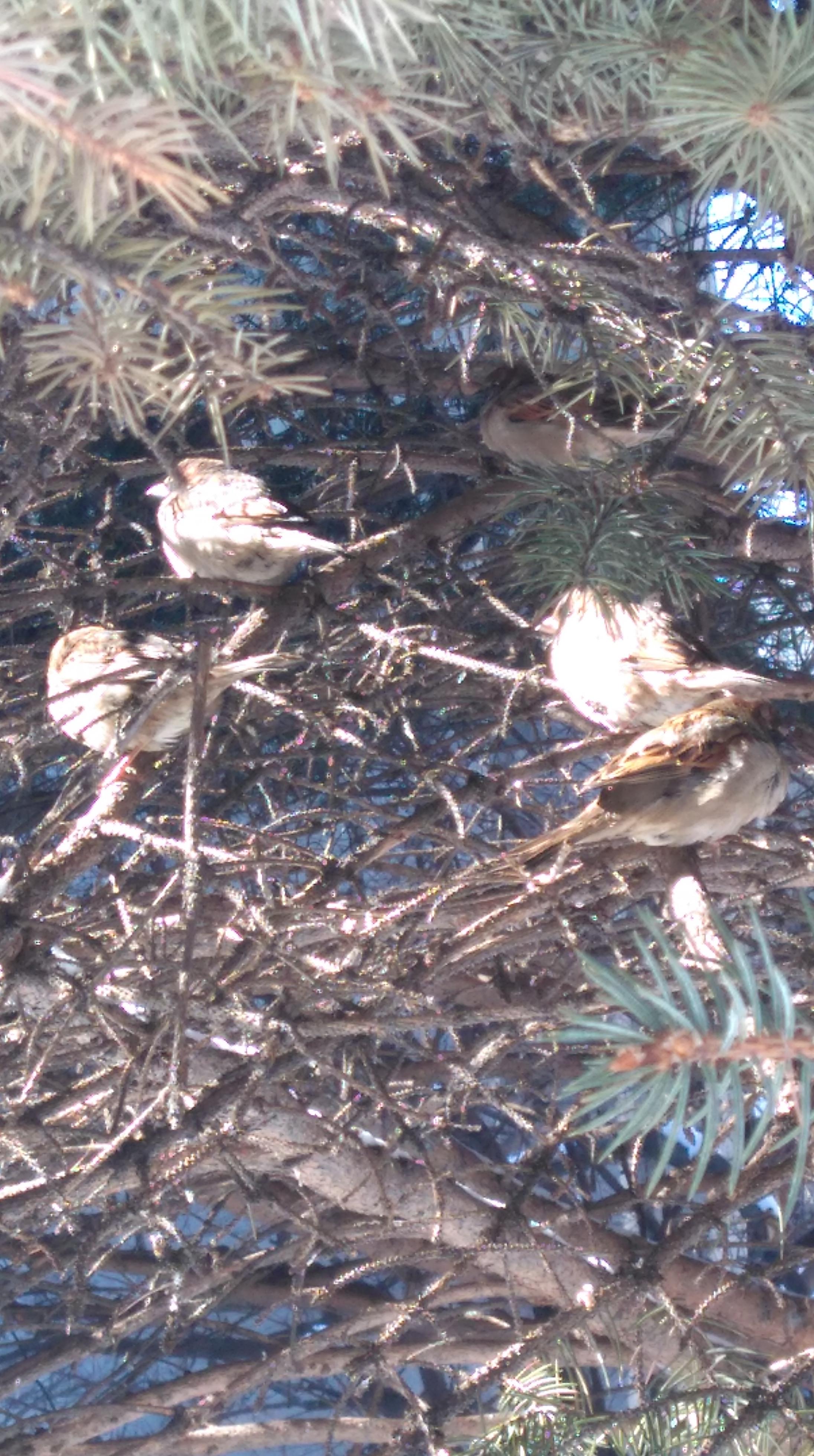 写真はこちらの雀ちゃんたち。寒いからなのか、羽毛を膨らませて暖をとっているように見える。なので、全体的にまるーい感じに見える。