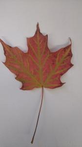 写真は、宇多田ヒカルちゃんじゃないけど今朝拾ったメープルの葉。葉脈がはっきり緑でとってもきれい。自然の色の組み合わせに勝るコーディネーションはないなあ、と感心する...